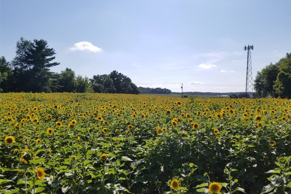 MKE Yoga by the Sunflowers
